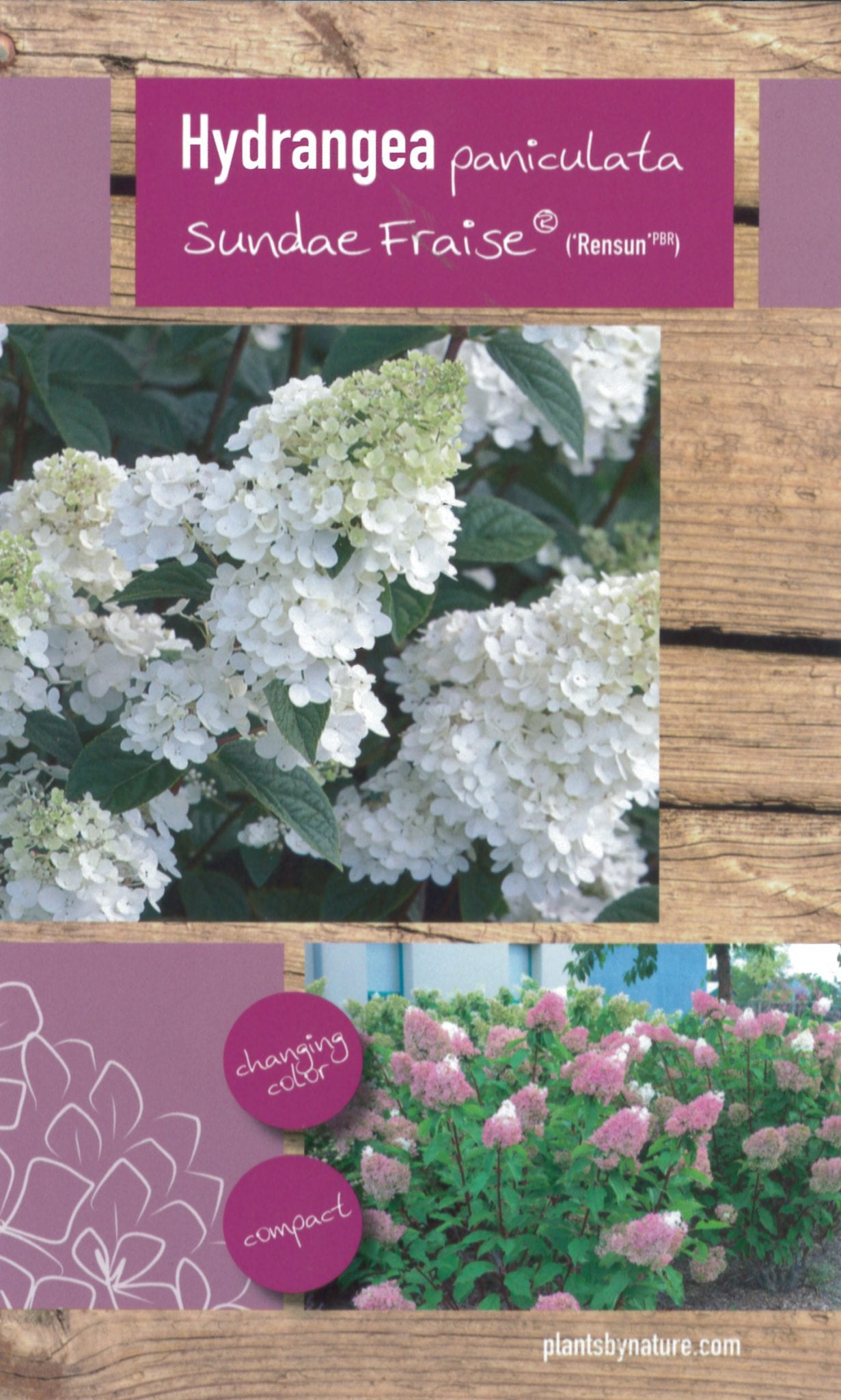 De Hydrangea paniculata 'Sundae Fraise (Rensun PBR)' etiket voorzijde | Plants By Nature - gespecialiseerd in hydrangea