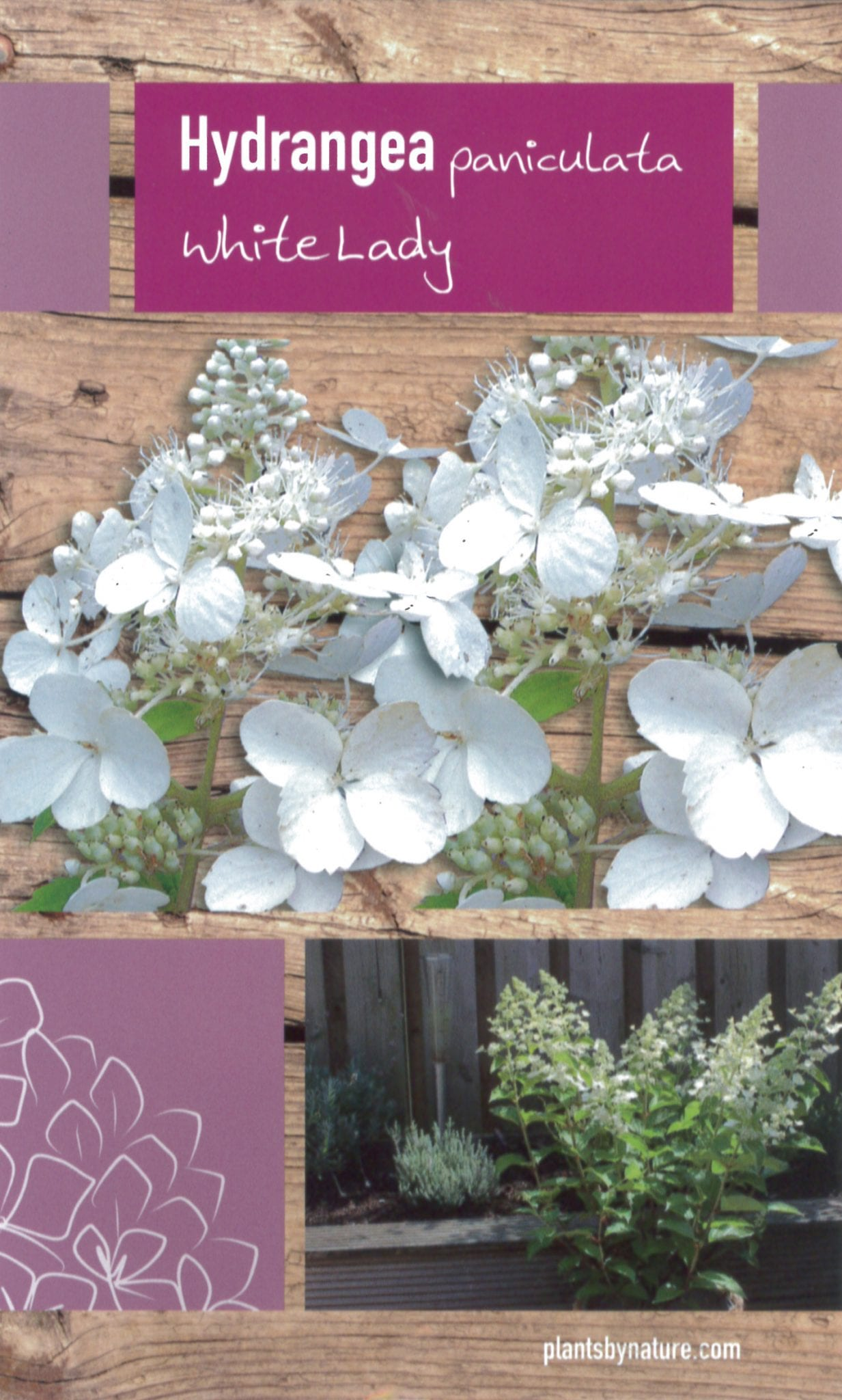 De Hydrangea paniculata 'White Lady' etiket voorzijde | Plants By Nature - gespecialiseerd in hydrangea