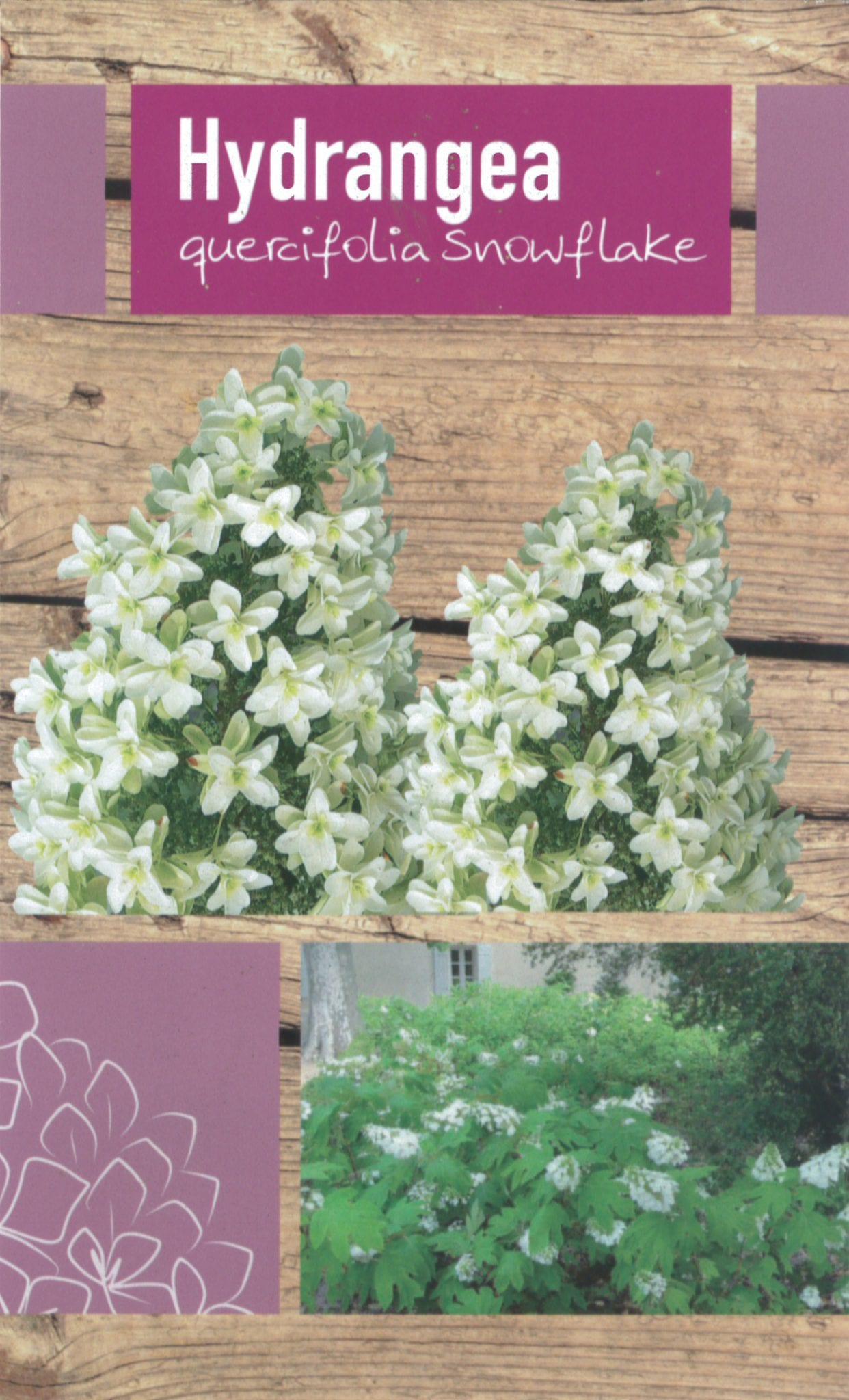 De Hydrangea Quercifolia 'Snowflake' etiket voorzijde | Plants By Nature - gespecialiseerd in hydrangea
