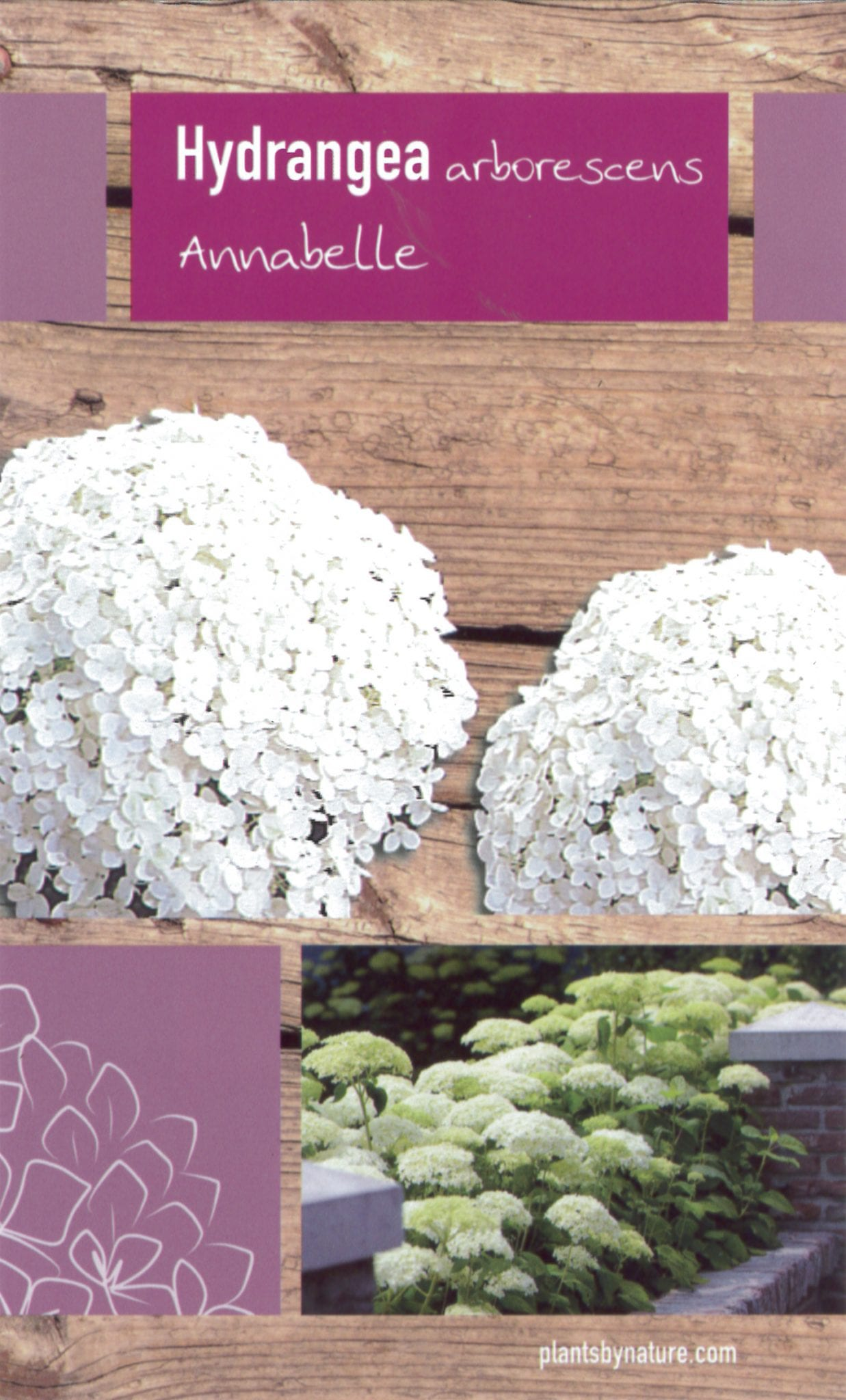 Hydrangea arborescent 'Strong Annabelle' etiket voorzijde | Plants By Nature - gespecialiseerd in hydrangea