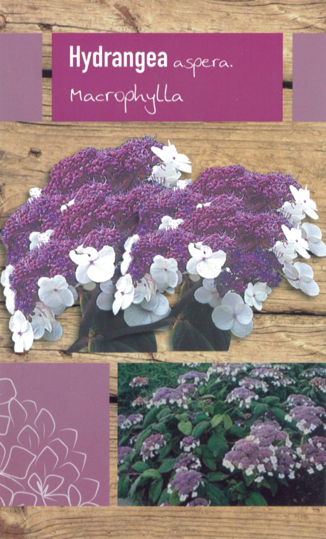 "Hydrangea Aspera ""Macrophylla"" etiket voorzijde | Plants By Nature - gespecialiseerd in hydrangea"