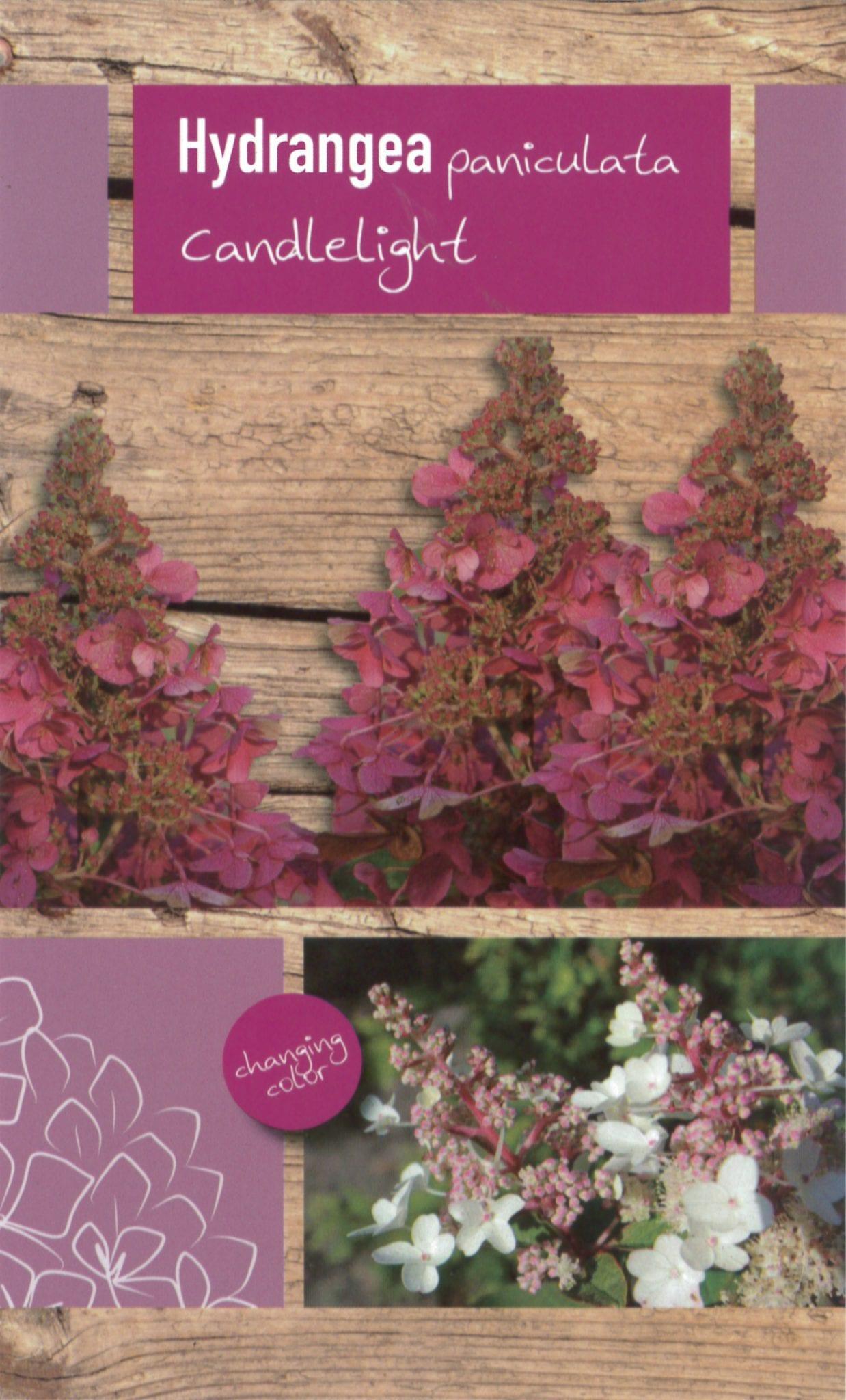 Hydrangea paniculata 'Candlelight' etiket voorzijde | Plants By Nature - gespecialiseerd in hydrangea