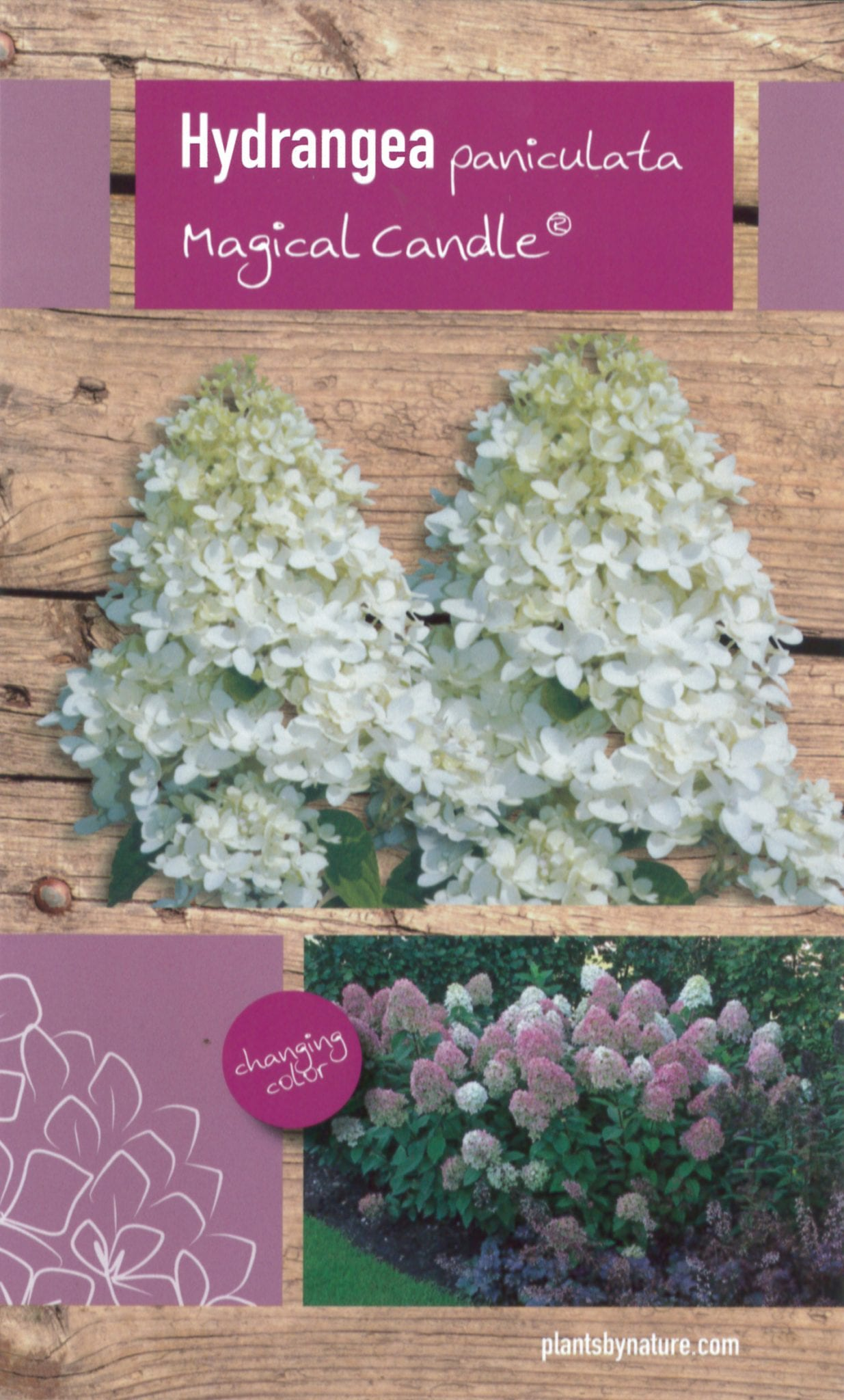 Hydrangea paniculata 'Magical Candle' etiket voorzijde | Plants By Nature - gespecialiseerd in hydrangea