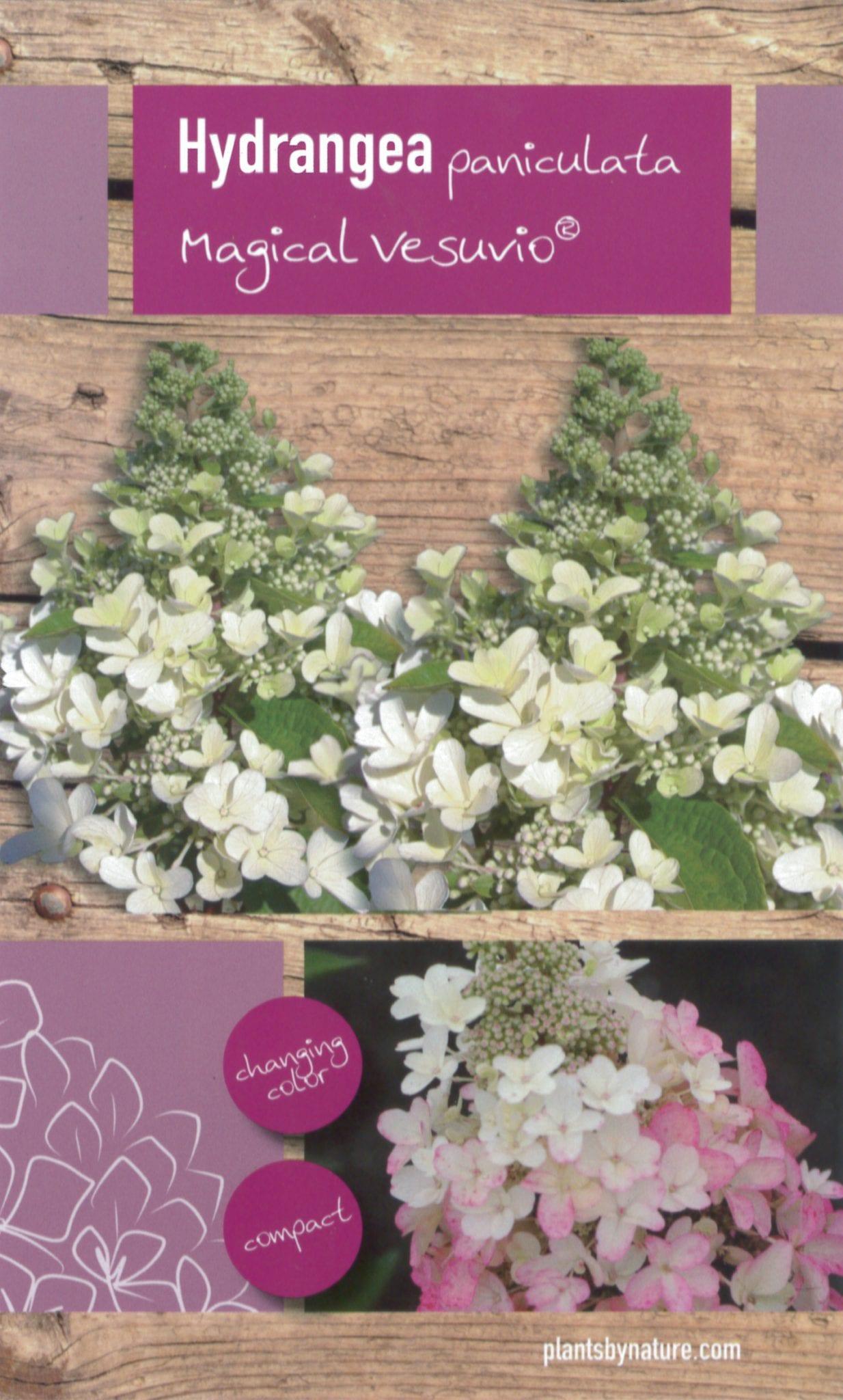 Hydrangea Paniculata 'Magical Vesuvio' etiket voorzijde | Plants By Nature - gespecialiseerd in hydrangea