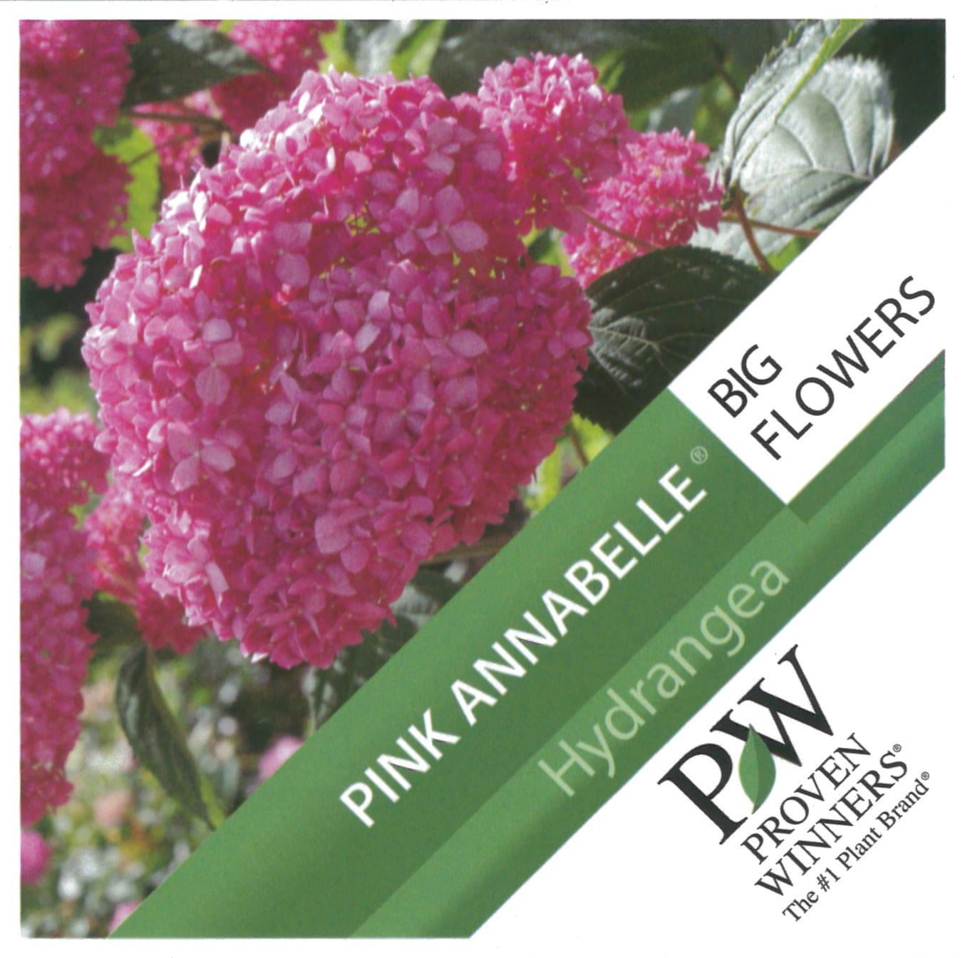 Hydrangea Proven Winners 'Pink Annabelle' etiket voorzijde | Plants By Nature - gespecialiseerd in hydrangea