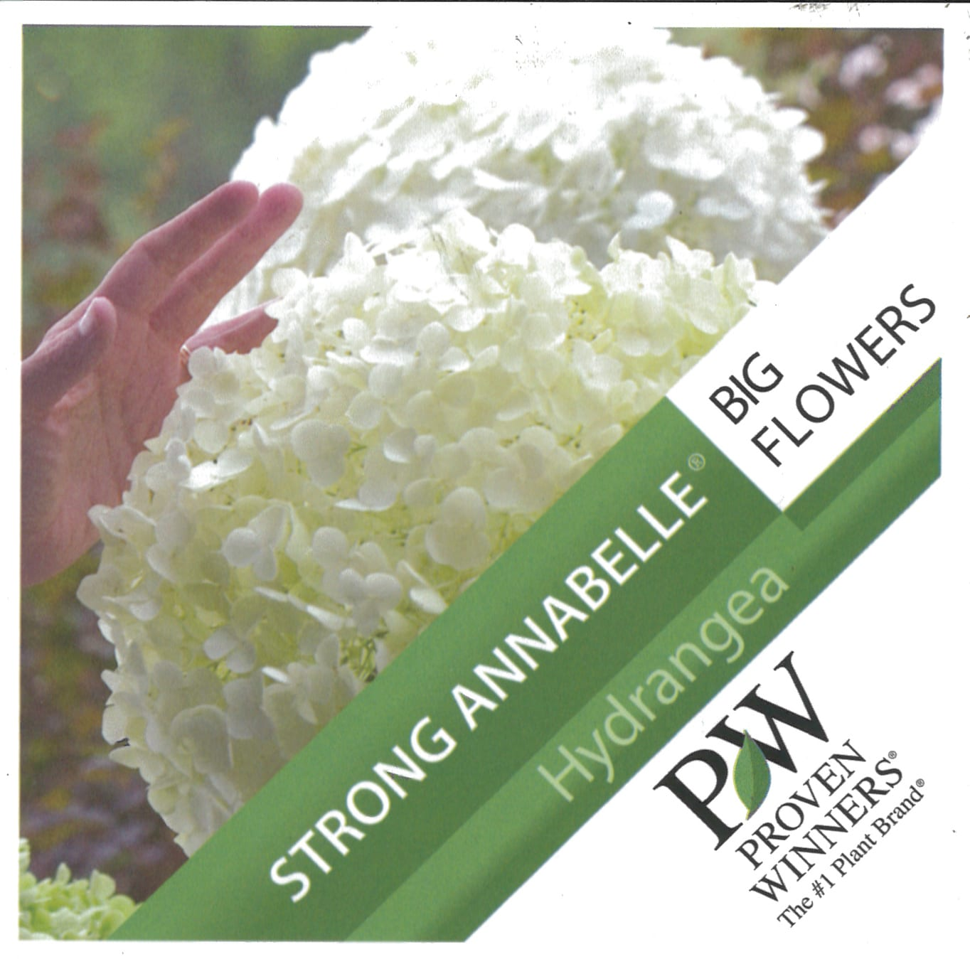 Hydrangea Proven Winners 'Strong Annabelle' etiket voorzijde | Plants By Nature - gespecialiseerd in hydrangea
