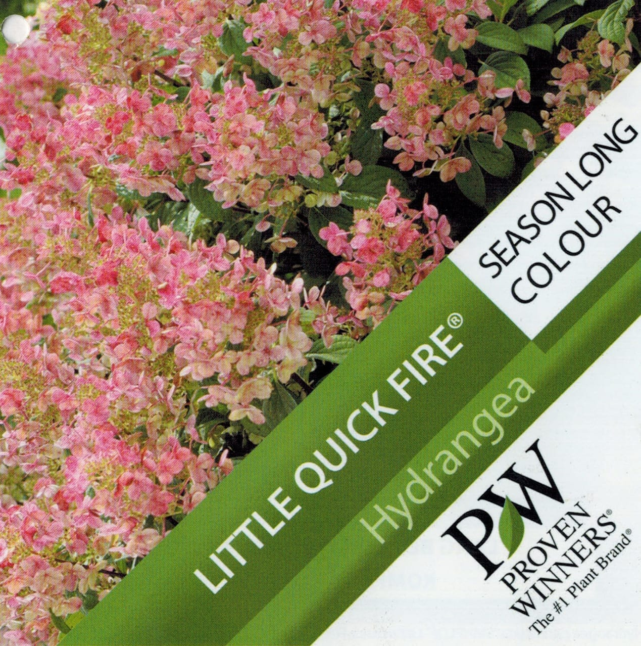 "Hydrangea Proven Winner ""Little Quick Fire"" etiket voorzijde 